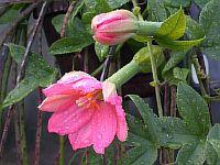 Passiflora mixta
