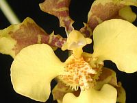 Oncidium barbatum