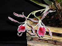 Trichopilia marginata