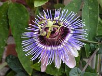 Passiflora Silvie