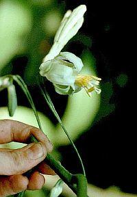 Passiflora Gigantifolia
