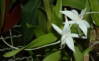 Angraecum Florulentum