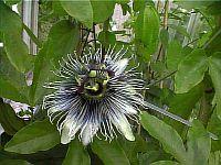 Passiflora Sapphire
