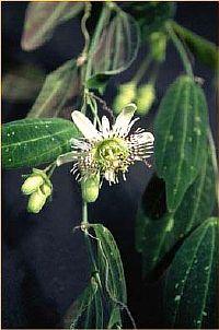 Passiflora Hirtiflora