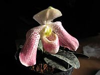 Paphiopedilum conco-bellatulum x vietnamense
