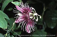 Passiflora Oerstedii var. choconiana