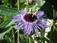 Passiflora Harlekin
