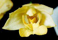 Dendrobium agrostophyllum