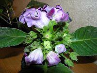Голландская Фиолетовая