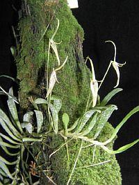 Barbosella cuculata