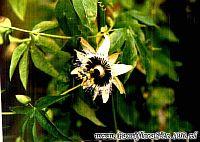 Passiflora Dedorino