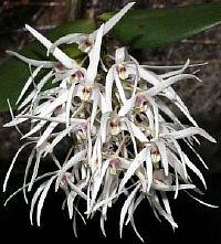 Dendrobium aemulum