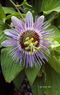 Passiflora Miranda