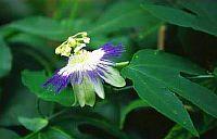 Passiflora Retipetala