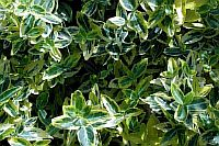 Euonymus Fortunei Emerald
