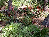 Vriesia Splendens