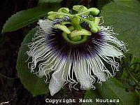 Passiflora Edulis fo. flavicarpa