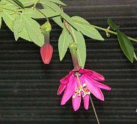 Passiflora Amazonica