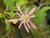 Passiflora Kate Roberts
