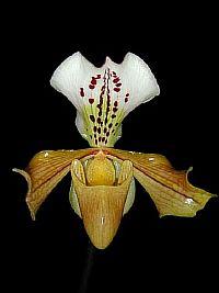 Paphiopedilum gratrixianum