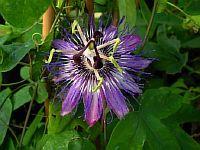 Passiflora Maria