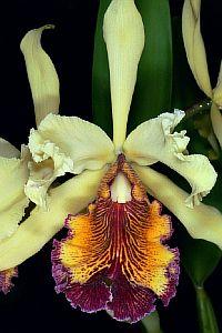 Cattleya aurea