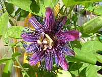 Passiflora Monique Klemann