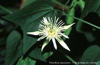 Passiflora Capsularis