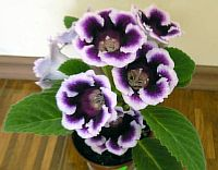Бело-Фиолетовая