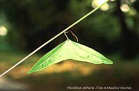 Passiflora Anfracta