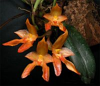 Bulbophyllum cootesii