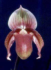 Paphiopedilum superbiens