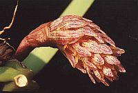 Bulbophyllum allenkerrii