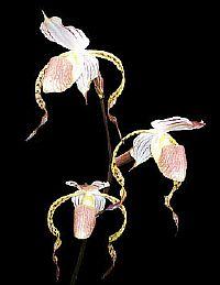 Paphiopedilum stonei