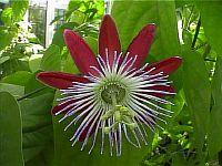 Passiflora Wilgen Heintje