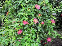 Passiflora jamesonii