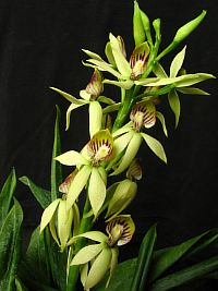 Encyclia lancifolia