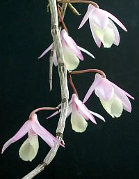 Dendrobium pierardii