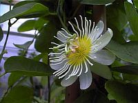 Passiflora Discophora
