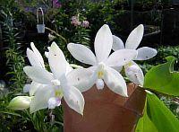 Phalaenopsis tetraspis