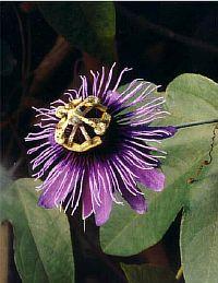 Passiflora Purple Heart
