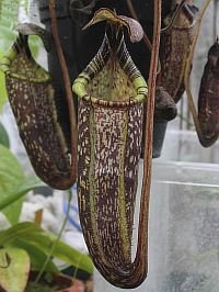 Nepenthes duliticola