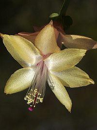 Rhipsalidopsis