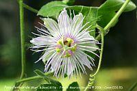 Passiflora Arida