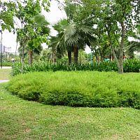 Pogonatherum paniceum