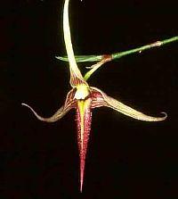 Bulbophyllum digoelense