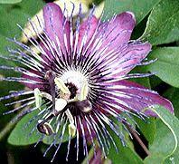 Passiflora Creamy