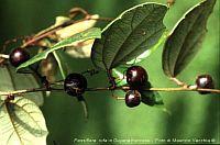 Passiflora Rufa