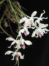 Phalaenopsis fimbriata