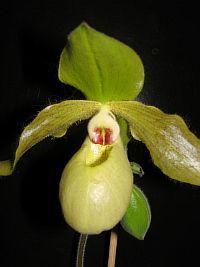 Paphiopedilum malipoense x primulinum